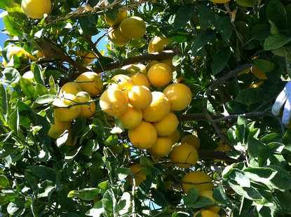 グレープフルーツはブドウの仲間?
