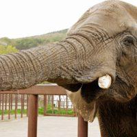 ゾウの歯は4本しかない