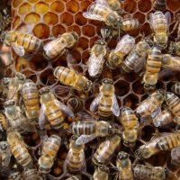 ミツバチはスズメバチを蒸し殺す
