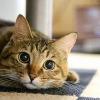 ネコの最強の武器は耳!猫耳の機能が凄い