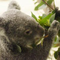 コアラの赤ちゃんは驚くほど小さい
