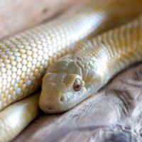 ヘビは舌で臭いを感じる