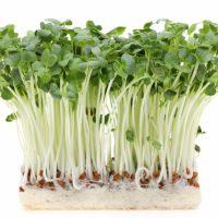 カイワレ大根は育てると普通の大根になるのか