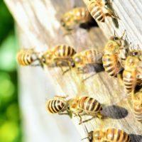 働きバチの性別は全てメスである