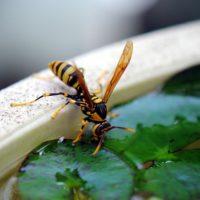 ハチに刺されたらオシッコをかけると治るって本当?