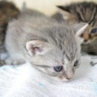 猫は一度に何回も妊娠することができる
