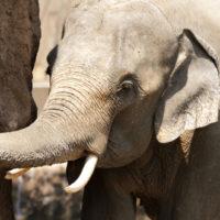 ゾウは耳で体温調整をする