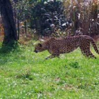 チーターは走りながら曲がる時に尻尾を回す