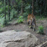ことわざ「虎の尾を踏む」は本当は全く危なくない?