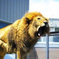 ライオンは犬だった?